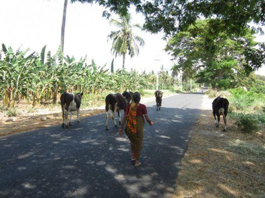 cow moo 4